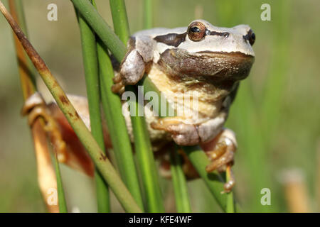 European tree frog (Hyla arborea) grey mutation - Stock Photo
