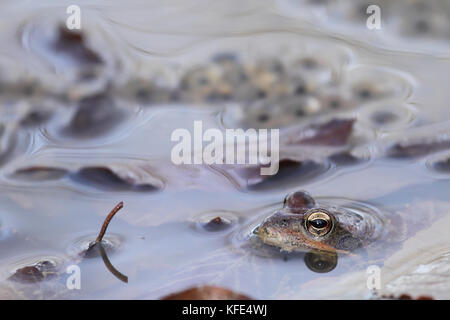 Common frog (Rana temporaria) close to eggs - Stock Photo