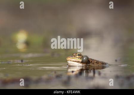 Perez's frog (Pelophylax perezi) croaking - Stock Photo