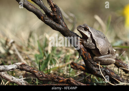 European tree frog (Hyla arborea) brown mutation. - Stock Photo