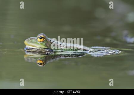 Perez,s frog (Pelophylax perezi) - Stock Photo