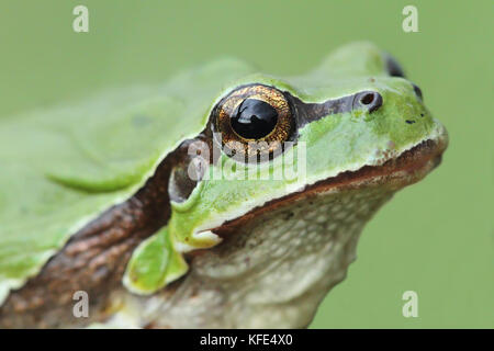 European tree frog (Hyla arborea) head - Stock Photo