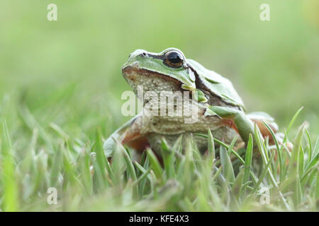 European tree frog (Hyla arborea) on the grass - Stock Photo