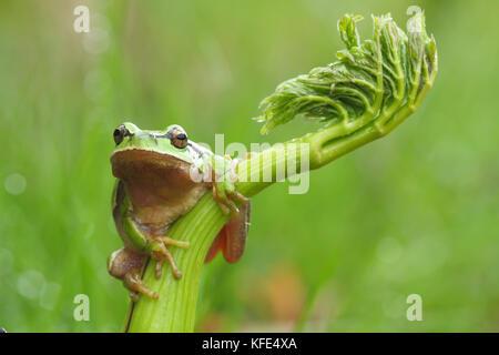 European tree frog (Hyla arborea) on a green plant