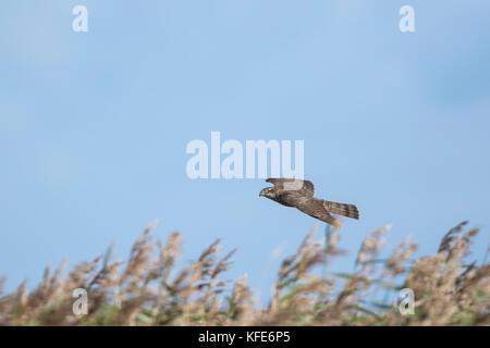 Eurasian Sparrowhawk (Accipiter nisus) juvenile in flight on migration - Stock Photo