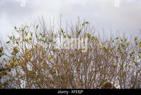 Ring-necked Parakeets, (Psittacula krameri), roosting in trees, Wormwood Scrubs, London, United Kingdom - Stock Photo