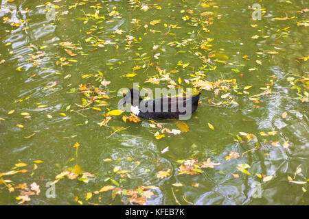 black duck with a tuft floats alone in a lake with yellow foliage - Stock Photo