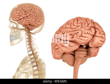 Brain and skeleton, human anatomy. Medically accurate 3D illustration - Stock Photo