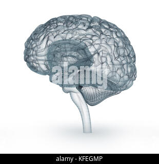 Human brain 3D model. Medically accurate 3D illustration - Stock Photo