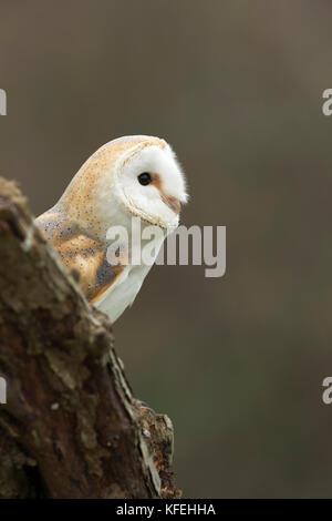 Barn Owl; Tyto alba Single Adult on Log Cornwall; UK - Stock Photo