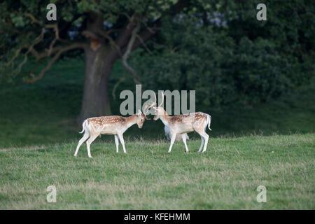 Fallow Deer; Dama dama; Two Bucks; Sparring; Derbyshire; UK - Stock Photo