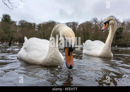 Mute Swan; Cygnus olor Two; Using Wide Angle Lens Cornwall; UK - Stock Photo