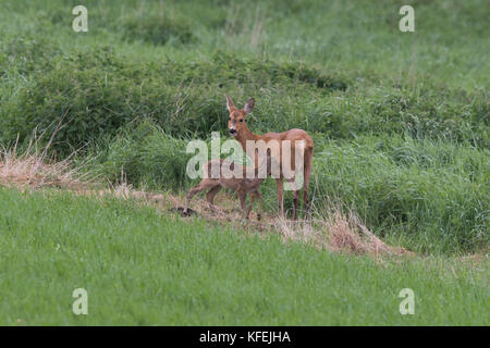 Roe doe with sucking fawn in early summer, Scania Sweden - Stock Photo