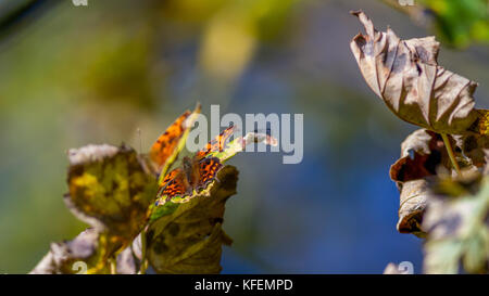 UK wildlife: two comma butterflies hidden in the tree canopy with wings open, warming up in the autumn sunshine - Stock Photo