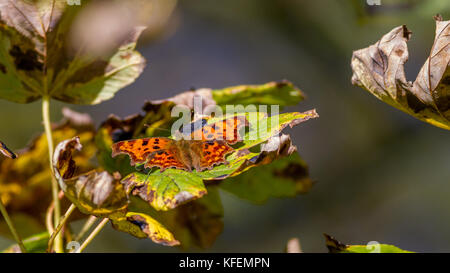 UK wildlife: comma butterfly with wings open, resting in a tree, warming up in the autumn sunshine - Stock Photo