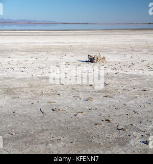 Parts of dead fish skeletons litter the salt bed of California's Salton Sea after the lake water has evaporated - Stock Photo