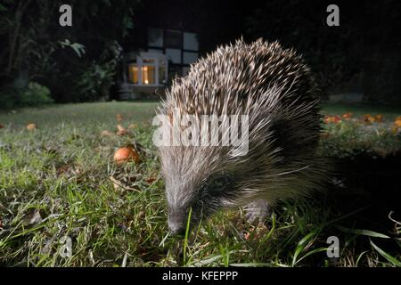 Hedgehog (Erinaceus europaeus) foraging on a lawn in a suburban garden at night, Chippenham, Wiltshire, UK, September. - Stock Photo
