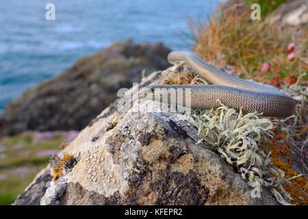 Slow worm (Anguis fragilis) sunning on a lichen covered boulder on coastal clifftop grassland, Cornwall, UK, June. - Stock Photo
