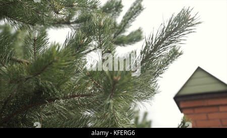 The branches of fur-tree. Evergreen fir pine tree branch. Blue and green spruce needles on a branches. Green prickly - Stock Photo