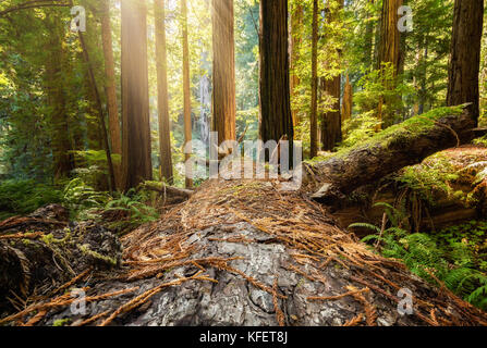 Fallen Redwood Tree in Northern California Forest, Color Image - Stock Photo