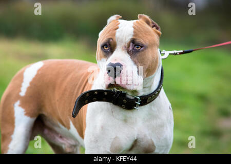 A portrait of staffordshire bull terrier on a green meadow - Stock Photo