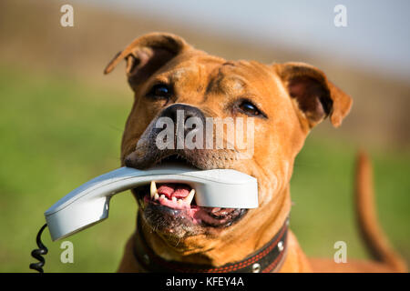 American Staffordshire terrier holding a phone in his mouth - concept of communication - Stock Photo