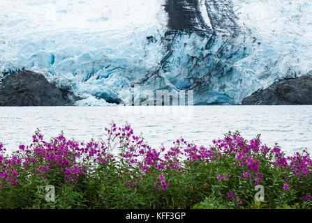 The calving face of Portage Glacier is viewed from the edge of Portage Lake with many pink sweet pea wildflowers - Stock Photo