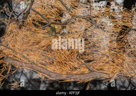Fallen needles of a fir in the river - Stock Photo