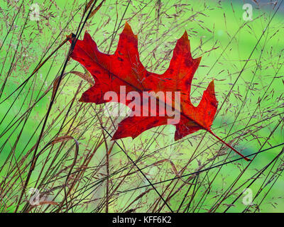 Close up of fallen Red Oak leaf  Quercus rubra in Autumn - Stock Photo