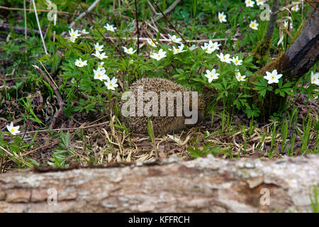 Young hedgehog in spring forest among anemones. Common hedgehog (Erinaceus europeus) and European wood anemone (Anemone - Stock Photo