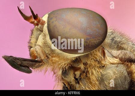 fleegle, pink background super macro. fleegle fly - Stock Photo