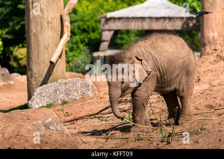 The youngest baby to date - Nayan - plays in the May day sunshine at Chester Zoo, England UK - Stock Photo