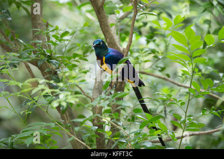 Golden-breasted starling Lamprotornis regius Jurong Bird Park Singapore BI031745 - Stock Photo