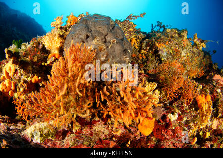 Moss Animals, Schizoretepora serratimargo, Coralreef with Colony of Moss Animals, Adriatic Sea, Mediterranean Sea, - Stock Photo