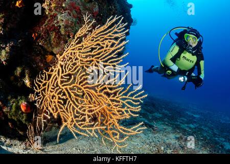 Yellow Sea fan, Eunicella cavolini, and scuba diver, Adriatic Sea, Mediterranean Sea, Selce, Kvaner Gulf, Croatia - Stock Photo