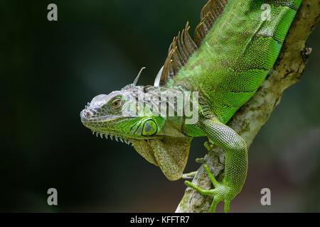 Green Iguana Iguana iguana Singapore MA003502 - Stock Photo
