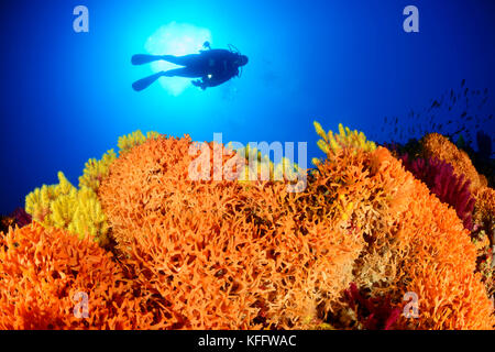 Colony of Moss Animals, Schizoretepora serratimargo, Coralreef and scuba diver, Adriatic Sea, Mediterranean Sea, - Stock Photo