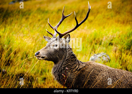 Red deer stag in Glen Etive Highlands of Scotland in late autumn. - Stock Photo