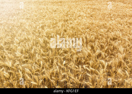 Golden wheat field ready to be harvested. - Stock Photo