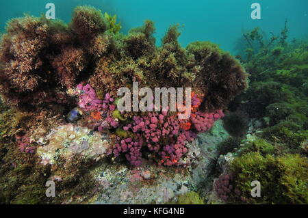 Purple compound tunicates on small overhang of rocky reef covered with various seaweeds. - Stock Photo