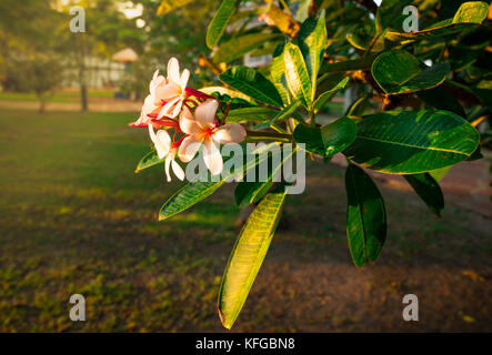 Tropical Frangipani flower (Plumeria alba) and green leaves on blur background in the park with flare light. Spa - Stock Photo