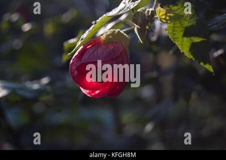 Red flower of room maple. Indian mallow, abutilon in garden - Stock Photo