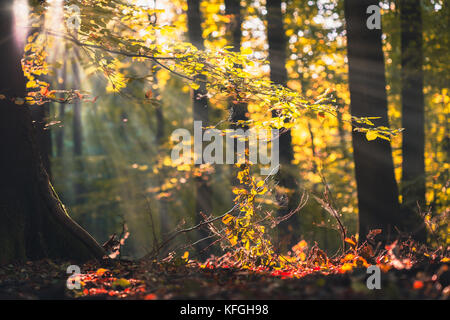 Golden autumn scene in a forest, with falling leaves and sun shining through the trees. Sun rays coming through - Stock Photo