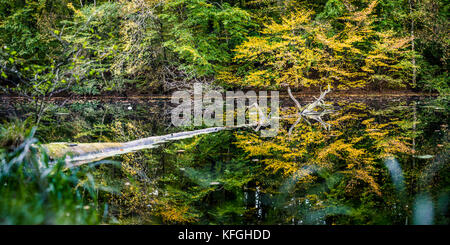 Beautiful autumn colored trees reflected in a small pond. One old tree floating on water surface - Stock Photo