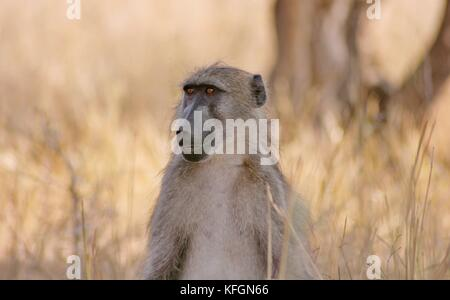 Chacma Baboon (Papio ursinus) sitting at the side of the road near Tshokwane in the Kruger National Park, South - Stock Photo