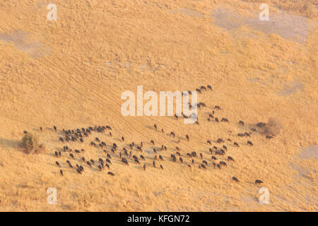 Aerial view of a herd of Cape Buffalo (Syncerus caffir) on the move in the Okavango Delta, Botswana - Stock Photo