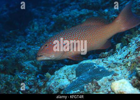 Roving coralgrouper fish (Plectropomus pessuliferus) underwater in the indian ocean - Stock Photo