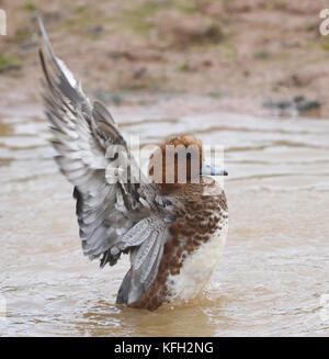 A male wigeon (Anas Penelope) has a good splash. Bowling Green Marsh, Topsham, Devon, UK. - Stock Photo