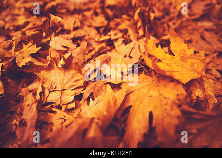 Autumn leaves background, dry orange maple foliage on the ground in the park, textured natural wallpaper, beautiful - Stock Photo