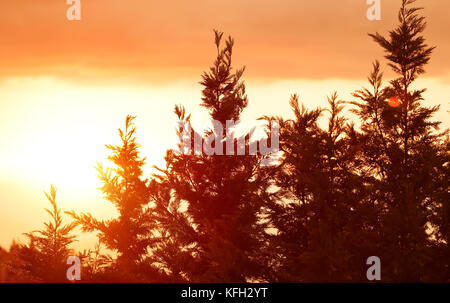 Beautiful landscape, silhouettes of a pine trees over bright yellow sunset sky background, tranquil view of wild - Stock Photo
